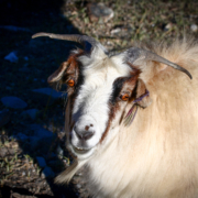 GOAT The Greates Of All Times